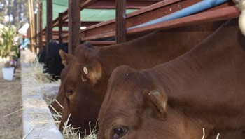 Harare Agriculture Show, Cattle-feeding